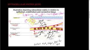 36 extracellular matrix ecm 1 of 2 function of ecm and its