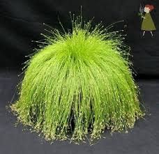 fiber optic grass or as i would named it cousin it grass