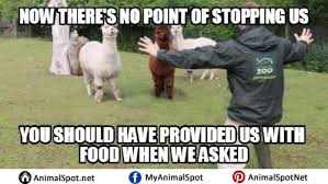 Alpaca Sheep Meme - pictures of alpaca memes different types of funny animal memes