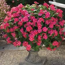 vinca flower vinca cora cascade cherry f1 harris seeds
