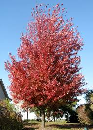 fast growing shade trees for sale maple elm pear trees