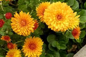 chrysanthemum indicum flowers jpg