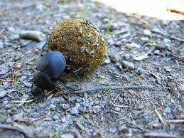 using dung beetles to keep in check and other backyard hacks