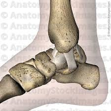 Foot Ligament Anatomy Anatomy Stock Images Ankle Ligaments Medial Deltoid Ligament
