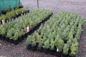 mini lone pine trees being grown at yarralumla nursery abc news