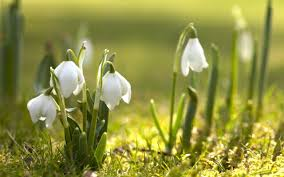 spring flowers in the light of sun beautiful snowdrops