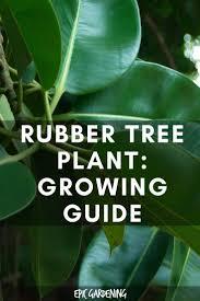 best 25 rubber plant care ideas on pinterest rubber plant