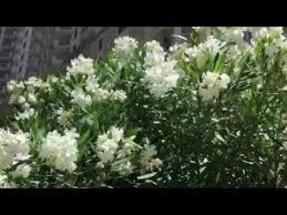 White Flowering Shrub - tropical shrub blooms white flowers namethatshrub youtube