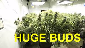 huge porn pic huge cannabis buds final update day 60 bud porn youtube