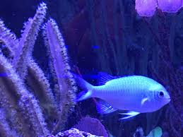 aquarium halloween blue green chromis chromis viridis reef2reef saltwater and