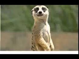 meerkat sings happy birthday youtube