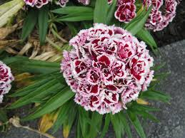 my walk with food and beautiful plants and flowers dianthus