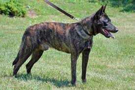 belgian shepherd or malinois warning to all potential belgian malinois owners page 2
