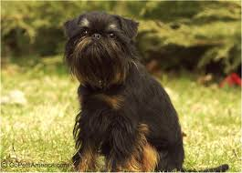 affenpinscher brown new dog pictures