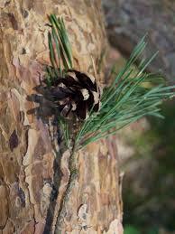 pinus sylvestris scots pine description