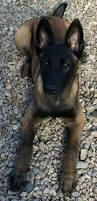belgian shepherd nc belgian malinois pretty dog u2026 pinteres u2026