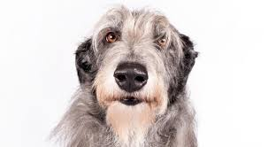 scottish deerhound dog breed information american kennel club