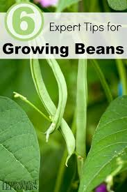 6 expert tips for growing beans beans are one of the easiest