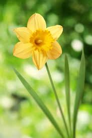 14 facts every daffodil devotee should know daffodil facts