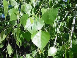 Cottonwood Tree Flowers - cottonwood trees populus fremontii non xeriscape common