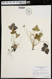 plants native to alabama hepatica acutiloba species page apa alabama plant atlas