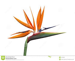 bird of paradise flower bird of paradise flower stock illustration illustration of plant