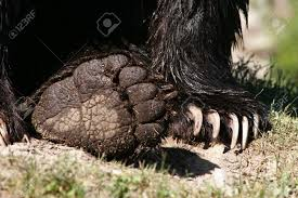 grizzly claws up of a grizzly s paws clearly showing its sharp