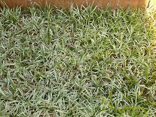 liriope evergreen ornamental grasses ebay
