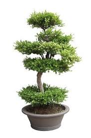 how to start a bonsai business profitable plants digest