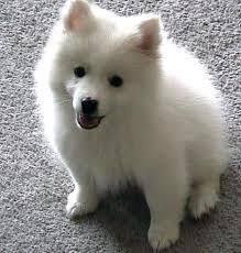 american eskimo dog nz born free alaska a miniature american eskimo dog from moosup