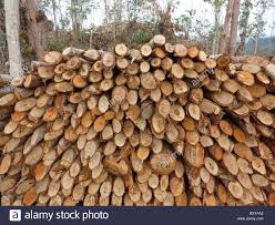 Eucalyptus Trees Madagascar Eucalyptus Trees Harvested For Cooking And Brick