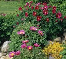 Rock In Garden Klehm S Song Sparrow Farm And Nursery Rock Garden Peonies