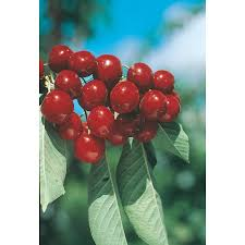 Lowes Moreno Valley by Shop 3 25 Gallon Bing Cherry Tree L1393 At Lowes Com