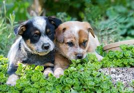 australian shepherd club qld australian cattle dog puppies for sale akc puppyfinder