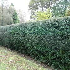 planting a native hedge holly hedge plants ilex aquifolium hedging
