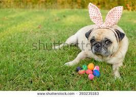 fawn headband fawn pug dog wearing rabbit headband stock photo 393235183
