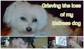 grieving the loss of a dog grieving the loss of my maltese dog is maltese dog care