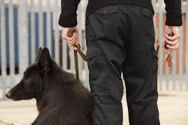belgian sheepdog massachusetts protective services superior tactics