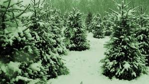 a new holiday trend renting christmas trees mnn mother nature