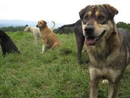 fun and free in costa rica the reign of dogs at territorio de
