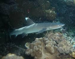 sharks of the great barrier reef reef biosearch