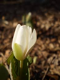 native plants of pennsylvania our pennsylvania native plant garden in early spring the