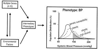 essential hypertension circulation