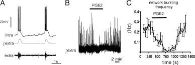 prostaglandin e2 induced synaptic plasticity in neocortical