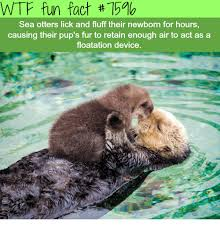 Sea Otter Meme - wtf fun fact 754b sea otters lick and fluff their newborn for hours