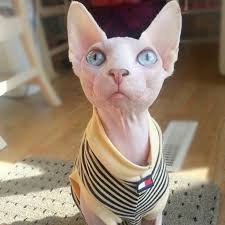 sphynx sweaters 37 best sphynx cat tater tot images on sphynx