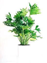 best indoor plants for low light tall indoor plants low light rubber plant ficus large indoor plants