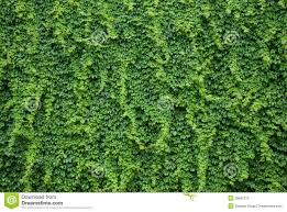 wall with green ivy leaves royalty free stock images image 38687279