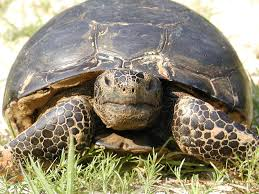 fact sheet on gopher tortoise a dry land turtle north florida