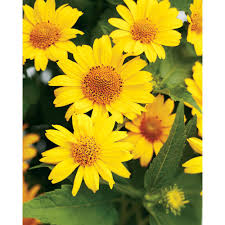 yellow flowers proven winners tuscan sun perennial sunflower heliopsis live